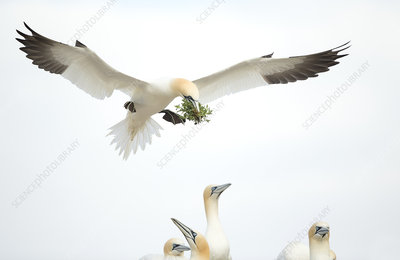 Gannet in flight, Great Saltee, County Wexford, Ireland