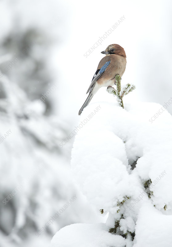 Common Jay perched on branch in snow, Finland