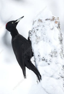 Black Woodpecker in snow perched on tree stump, Finland