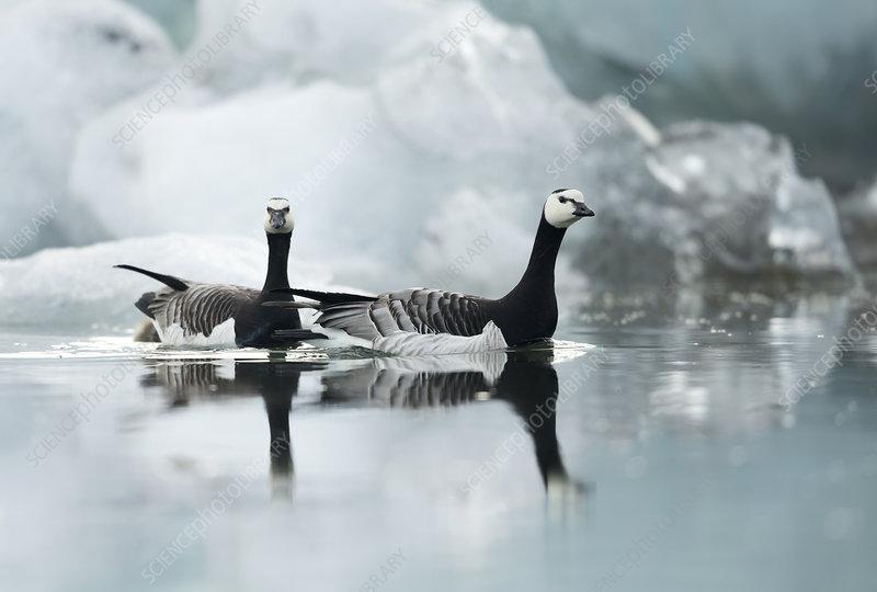 Barnacle Geese among ice, Jokulsarlon Glacier, Iceland