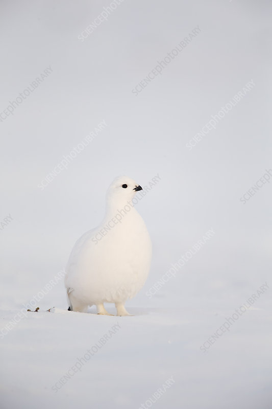 Willow Grouse in snow, Finland