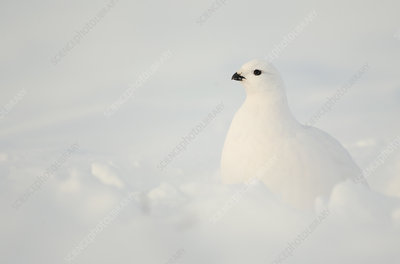 Willow Grouse resting in snow, Finland