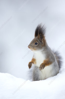 Red Squirrel in snow, Finland