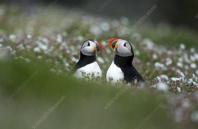 Puffins displaying, Skomer Island, Wales, UK