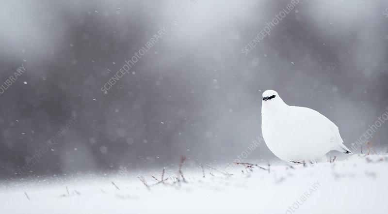 Ptarmigan in winter, Finland