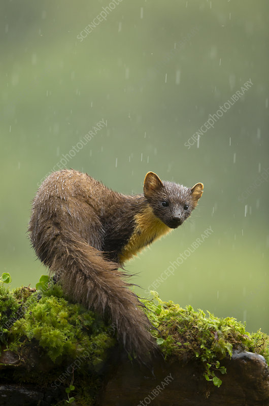 Pine marten in rain, Scotland, UK