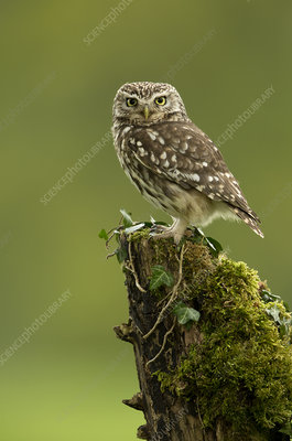 Little Owl perched on tree stump covered in moss