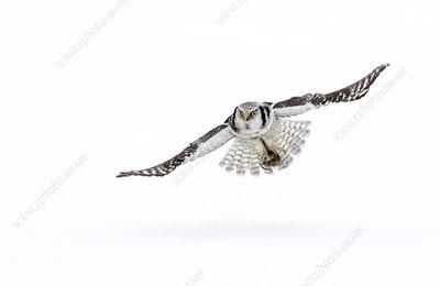 Hawk owl in flight, Finland