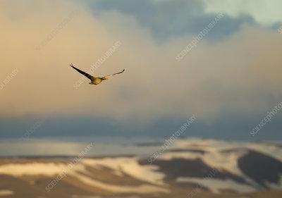 Greylag goose in flight, Iceland