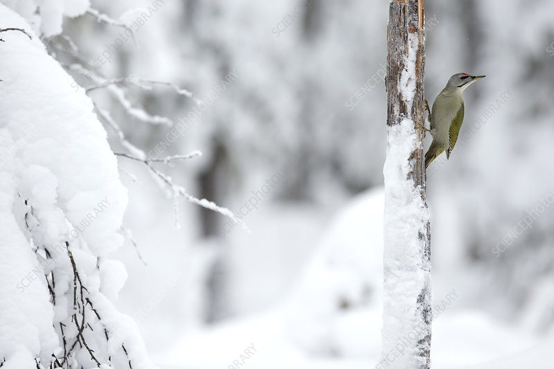 Grey headed woodpecker insnow, Finland