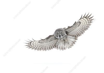 Great grey owl in flight, Finland