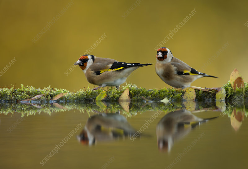Goldfinch reflected in pool