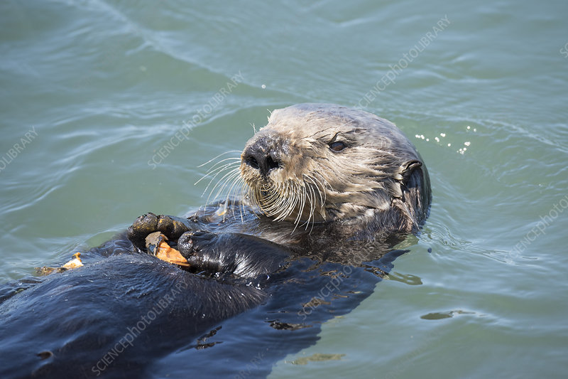 California sea otter, eating a mussel