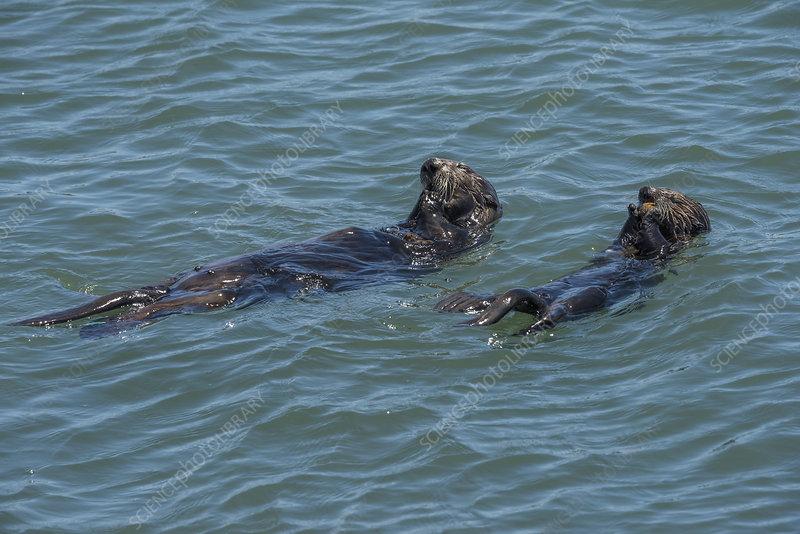 California sea otter female and pup