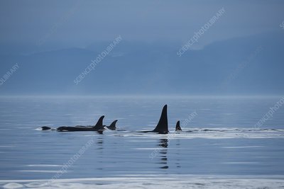 Orca southern resident family pod surfacing