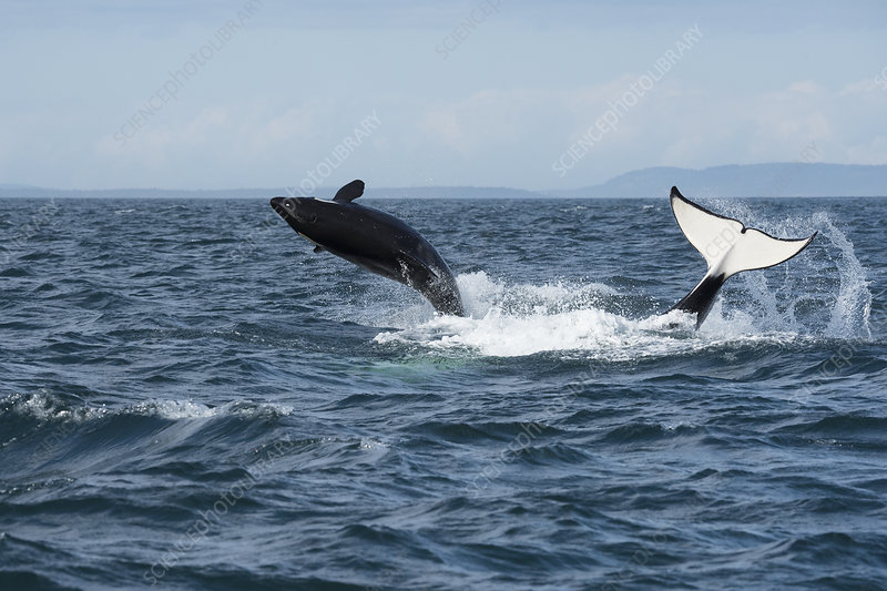 Orca southern resident juvenile breaching