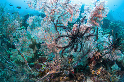 Gorgonians and crinoids on coral reef