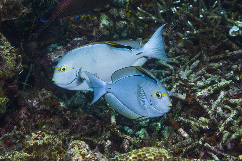 Elongate surgeonfish being cleaned by wrasse