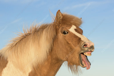 Icelandic horse showing flehmen response, Iceland