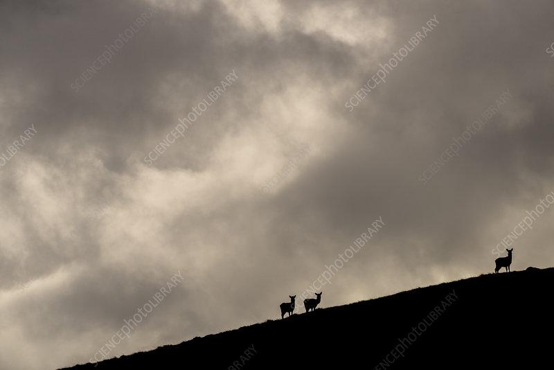 Red deer, silhouetted against sky, Jura, Scotland