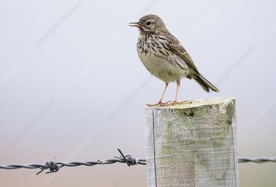 Meadow pipit, on fence post, Islay, Scotland, UK