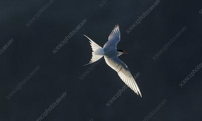 Arctic tern, in flight, Iceland