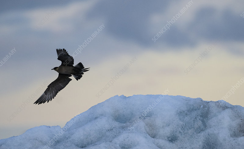 Arctic skua, in flight, Iceland