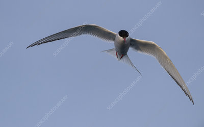 Arctic tern in flight, Iceland