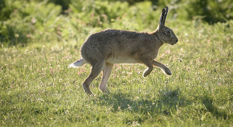 Brown hare at dawn, Islay, Scotland, UK