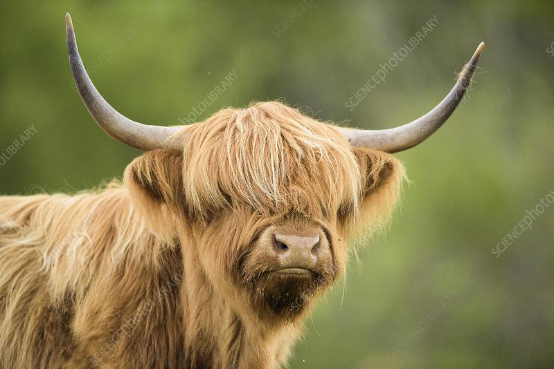 Highland cow, Mull, Scotland, UK