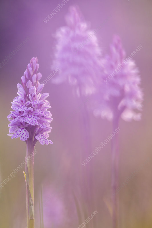 Common spotted orchids (Dactylorhiza fuchsii)