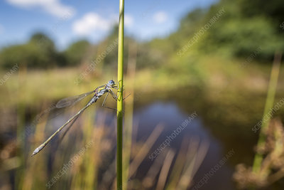 Male emerald damselfly resting on reed near the water's edge