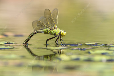 Female emperor dragonfly laying eggs on garden pond