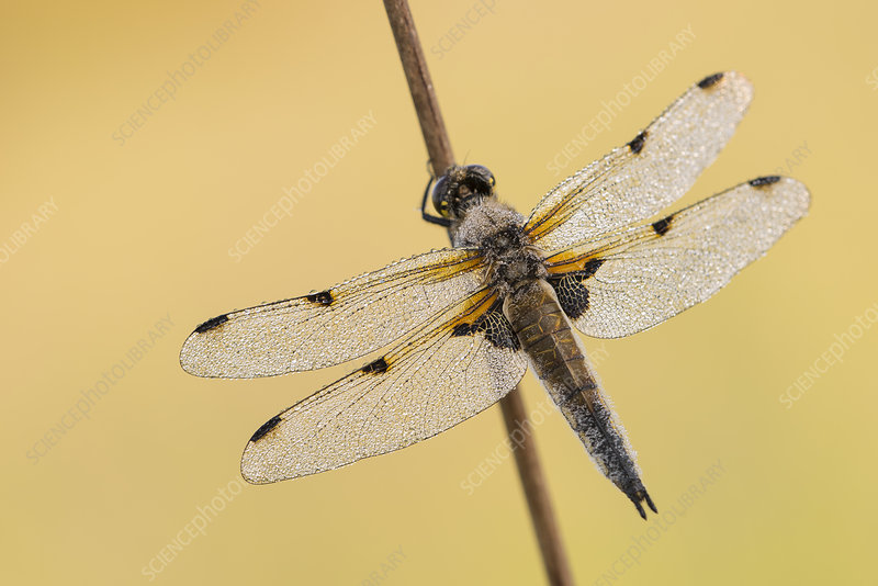 Four-spotted chaser dragonfly resting on reed stem