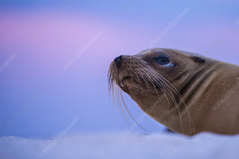 Galapagos sea lion resting on sand after sunset