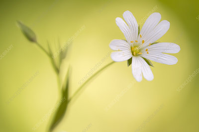 Close up of Greater stitchwort (Stellaria holostea) flower