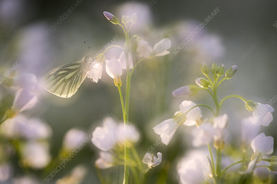 Green-veined white butterfly on Ladies smock