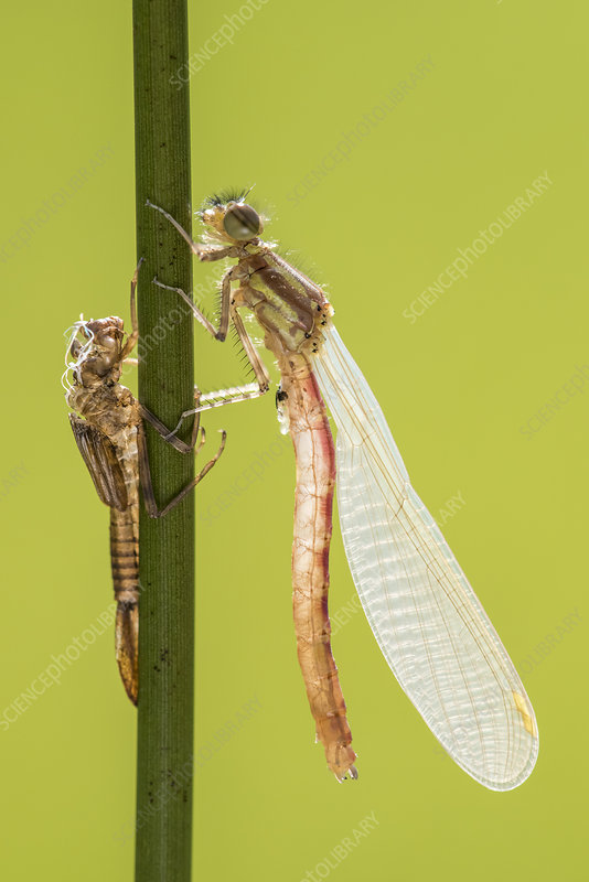 Large red damselfly freshly emerged with exuviae
