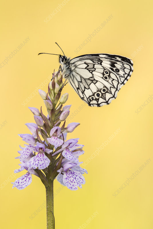 Marbled White butterfly resting on common spotted orchid