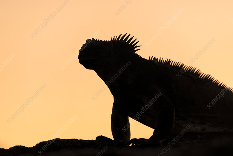 Galapagos Marine Iguana, silhouetted at dawn