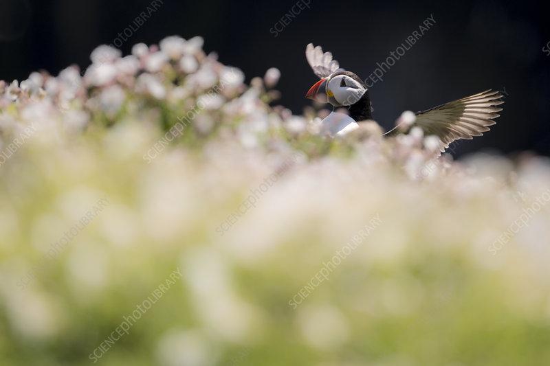 Atlantic puffin among sea campion, Skomer Island, Wales, UK