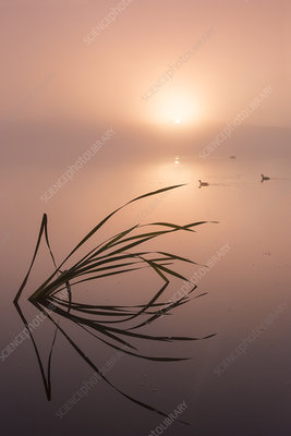 Reflected reeds and misty sunrise