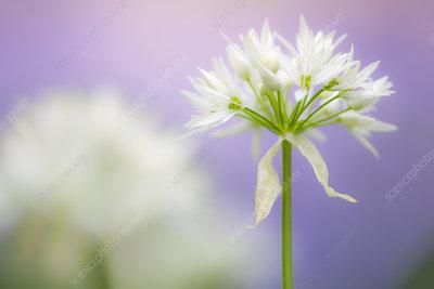 Wild garlic (Allium ursinum) flower close-up