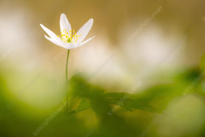 Wood anemone flower (Anemone nemorosa)