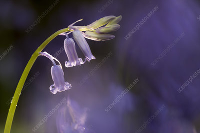 Bluebell (Hyacinthoides non-scripta) close-up