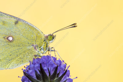 Clouded yellow butterfly on devil's bit scabious