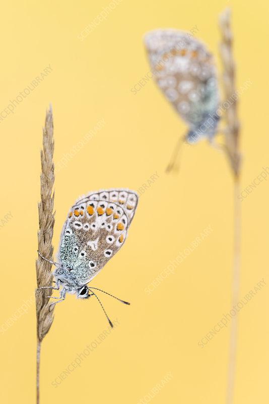 Common blue butterflies resting on grass