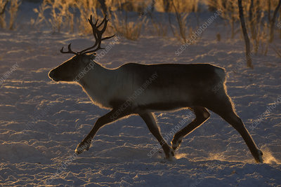 Reindeer, running in snow