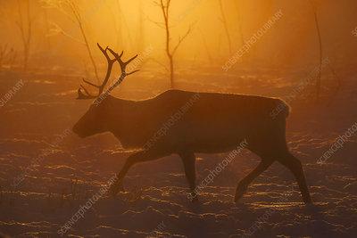 Reindeer in the Saarivuoma Sami community, Lapland, Sweden