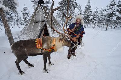 Sami man with Reindeer for sledding